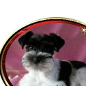 Blairs Toy Schnauzers reviews and complaints