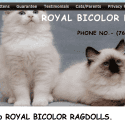 Royal Bicolor Ragdolls reviews and complaints