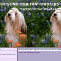 TriSong Tibetan Terriers