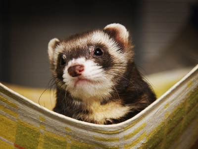 Reviews for Ferrets