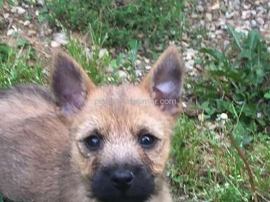 Foxcreek Kennels Cairn Terrier Dog review 246214