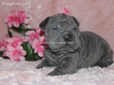 My Shar Pei Kennels Dog review 44985