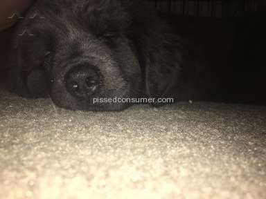 Petland Newfoundland Dog review 147328