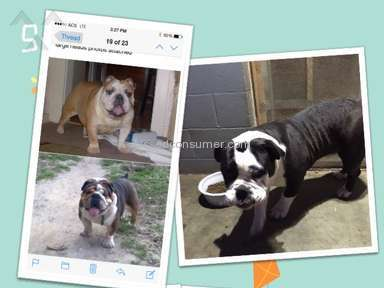 Adorablebulldogs English Bulldog Dog review 156140
