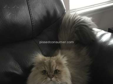 Christypaw Persians Persian Cat review 205090