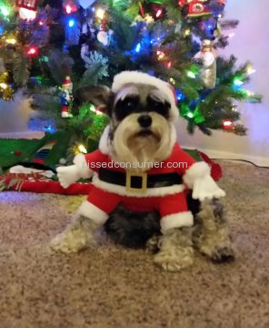 Spoiled Rotten Schnauzers Miniature Schnauzer Dog