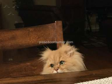 Christypaw Persians Persian Cat review 205108