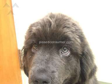 Petland Newfoundland Dog review 147324