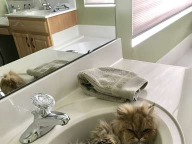 Christypaw Persians Persian Cat review 205088