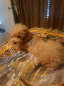 Jordon Family Treasures Poodle Dog