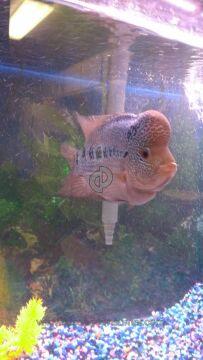 Somethingsphishy Flowerhorn Cichlid Aquarium Fish