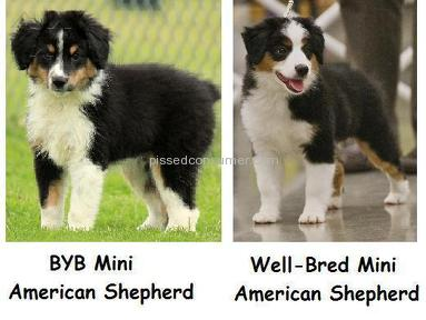 Westwood Mini Aussies Animals review 8185