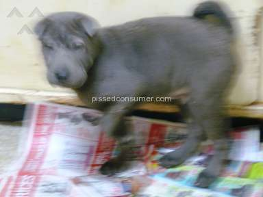 Shar Pei Kennel Dog review 44993