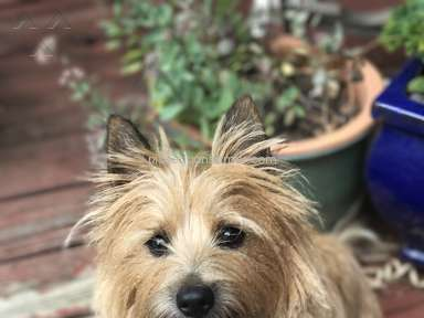 Foxcreek Kennels Cairn Terrier Dog review 246220