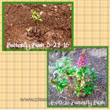 Wayside Gardens Butterfly Bush Plant
