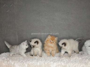 Countrys Edge Persians Persian Cat review 272782