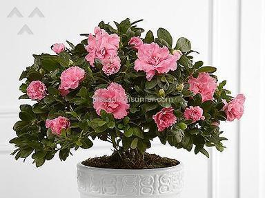 ProFlowers Azalea Plant review 138289