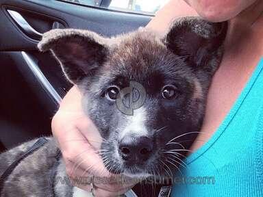 Petland Akita Dog review 224244