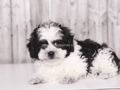 Little Puppies Online Teddy Bear Dog review 175626