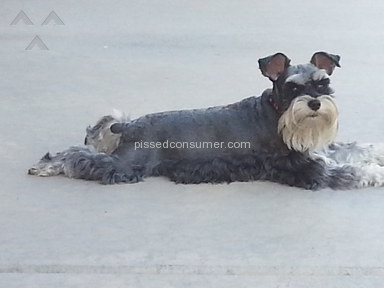 Spoiled Rotten Schnauzers Miniature Schnauzer Dog review 234780