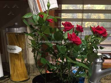 Avasflowers Rose Plant review 170738