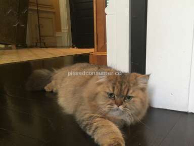 Christypaw Persians Persian Cat review 205222