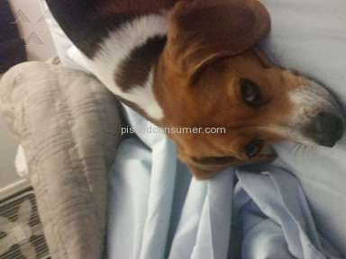 Purebred Breeders - Beagle Review from Washburn, Missouri