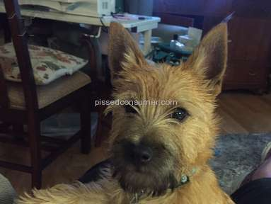 Foxcreek Kennels Cairn Terrier Dog review 246210