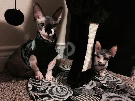Lilnudists Cattery Cat