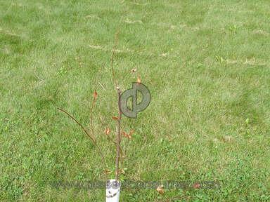 The Usa Nursery Dogwood Tree review 223872