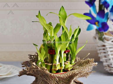 Indian Gifts Portal Good Luck Plant With Coffee And Truffle Chocolates Gift Basket review 124873
