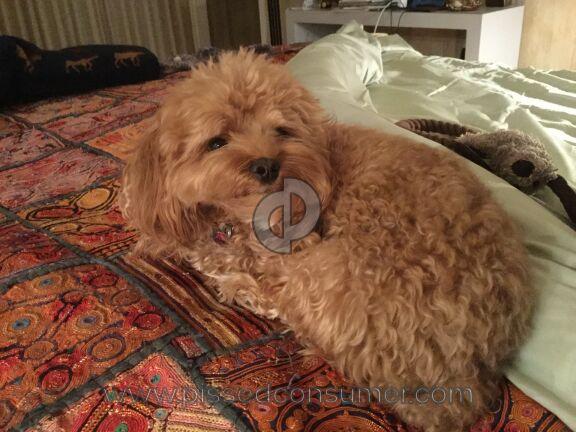 Jordon Family Treasures Cockapoo Dog