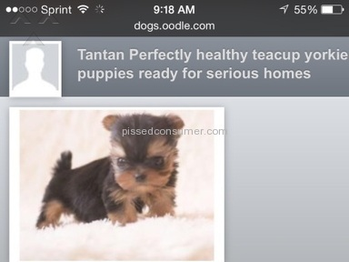 Oodle - Yorkie Puppy Review from Jacksonville, Florida