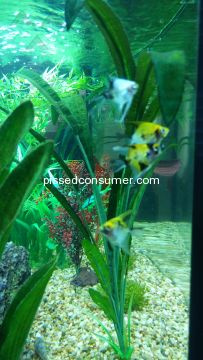 Somethingsphishy Angelfish Aquarium Fish