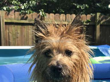 Foxcreek Kennels Cairn Terrier Dog review 246222