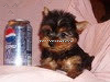 Oodle - Teacup Yorkie Puppy Review