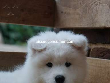 Majestic Samoyed Pups - Puppy Breeders Selling Puppies online