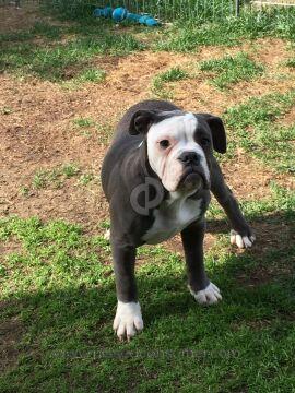 Adorablebulldogs English Bulldog Dog