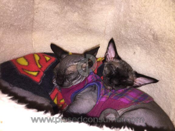 Lilnudists Cattery Bambino Cat