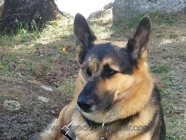 Westside German Shepherd Rescue - Betty soon gone after 11 months