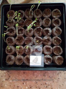 Jack Seeds Rose Seeds