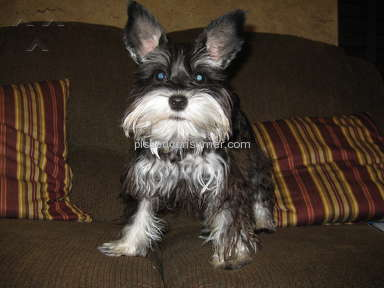 Spoiled Rotten Schnauzers Miniature Schnauzer Dog review 234772