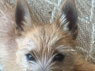 Foxcreek Kennels Cairn Terrier Dog review 246206