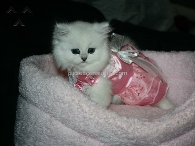 Simply Silver Persians Cattery - Persian Cat Review from Elizabethtown, Kentucky