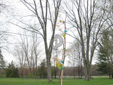 Brighter Blooms Nursery Eastern Redbud Tree review 132885