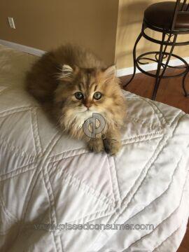 Christypaw Persians Persian Cat