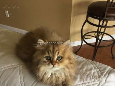 Christypaw Persians Persian Cat review 205082