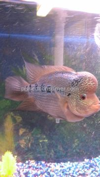 Somethingsphishy Flowerhorn Cichlid Aquarium Fish