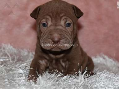Shar Pei Kennel Customer Care review 174120
