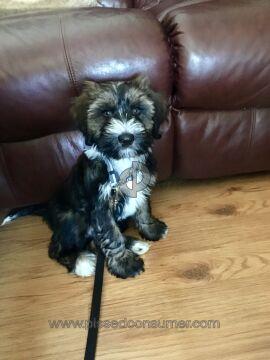 Regalia Tibetan Terriers Tibetan Terrier Dog